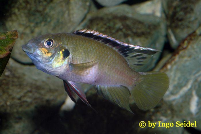 Benitochromis nigrodorsalis Moliwe Männchen