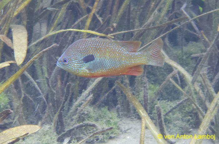 """UW-Aufnahme eines """"Long Ear Sunfish"""" (Großohr - Sonnenbarsch) aus dem San Marco-River in Texas. (Aufnahme von Anton Lamboj)"""