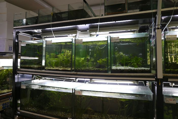 Four tanks in Ostrava ZOO now occupied by northern platyfish